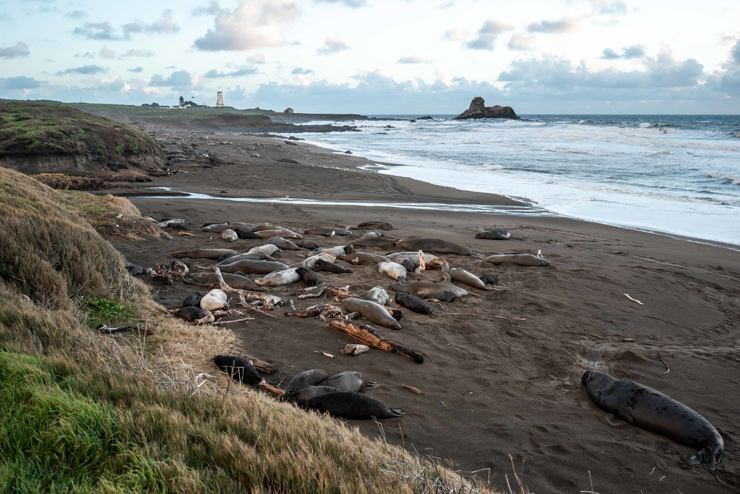 The elephant seals. And off in the distance, another closed lighthouse.