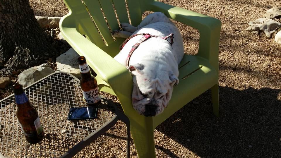 bulldog in chair.jpg
