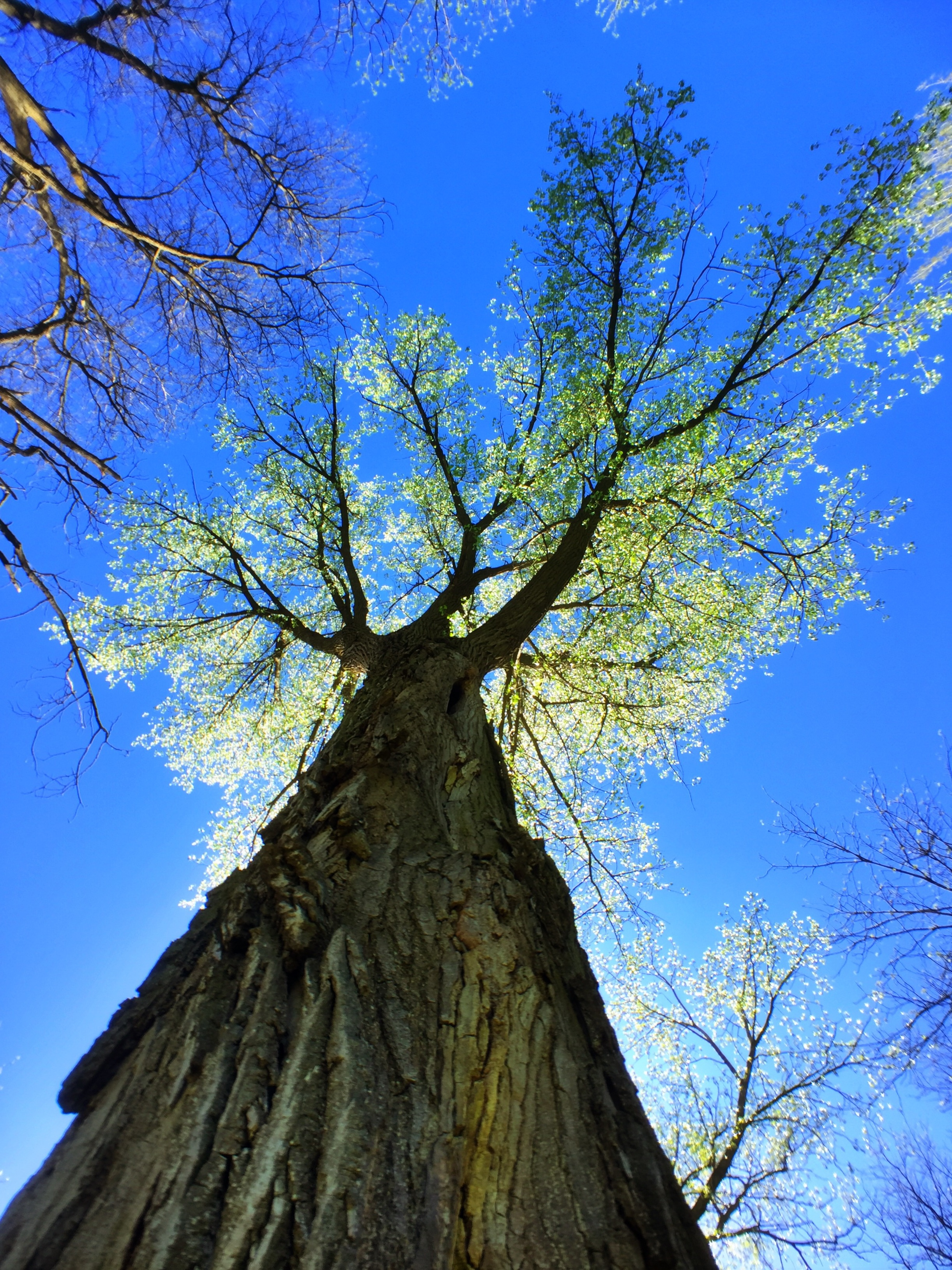 The cottonwood shimmer