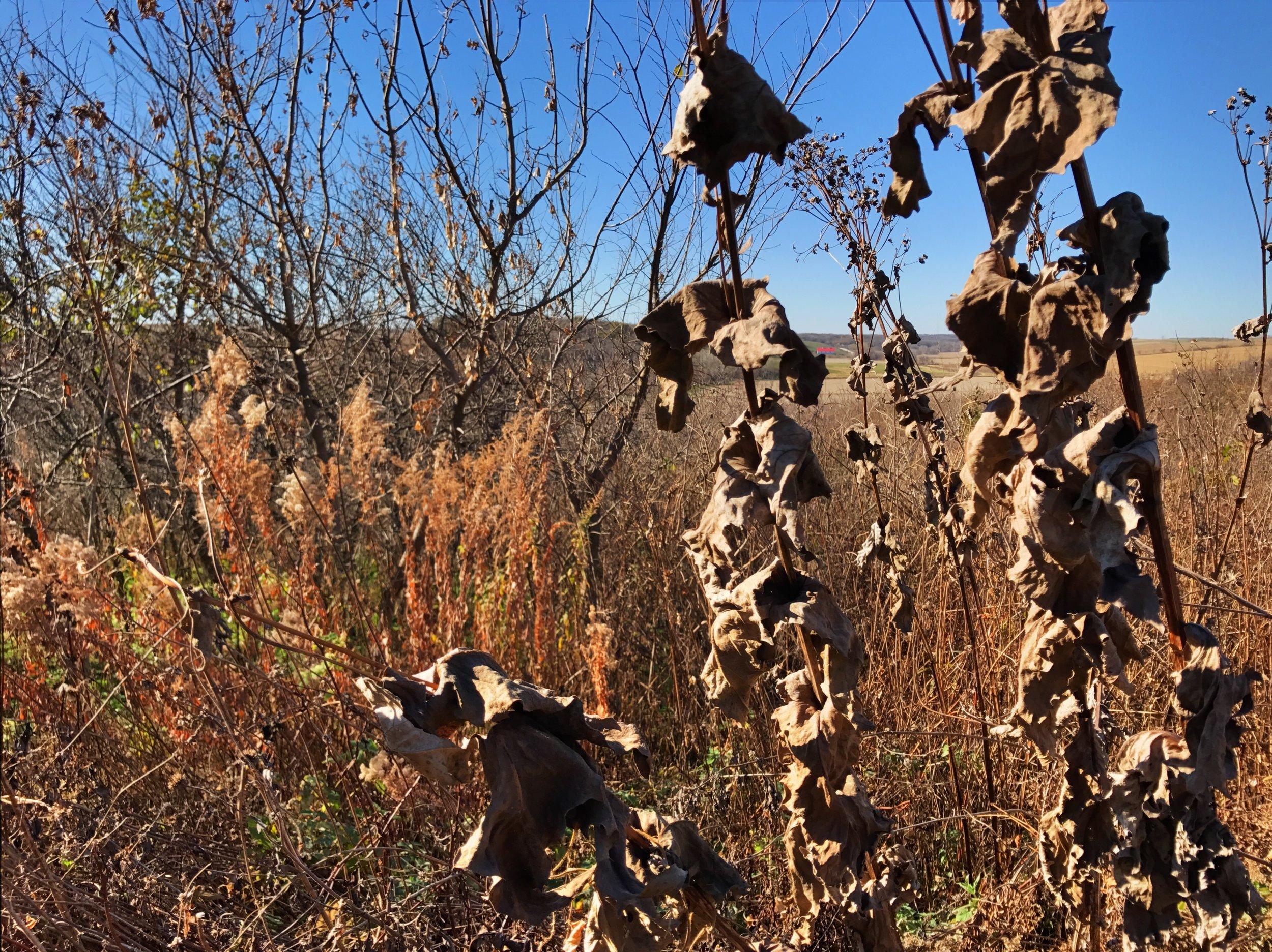 Cup Plant ( Silphium   perfoliatum ) husks