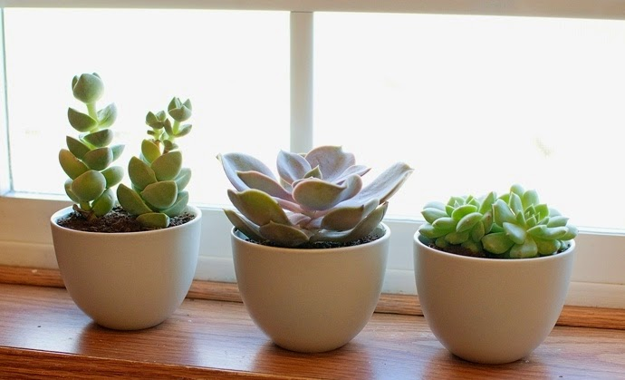 """São plantas que apresentam raiz, talo ou folhas engrossadas, característica que permite o armazenamento de água durante períodos prolongados. Bastante fáceis de cuidar, elas costumam """"avisar"""" do que precisam, basta prestar atenção aos detalhes. Se as folhas começarem a murchar, aumente gradativamente a quantidade de água; se as folhas da base começarem a apodrecer, diminua. Se ela ficar fina e perder muitas folhas, não está recebendo a quantidade necessária de luz. O ideal é proporcionar pelo menos quatro horas diárias de sol para que elas sobrevivam com saúde."""