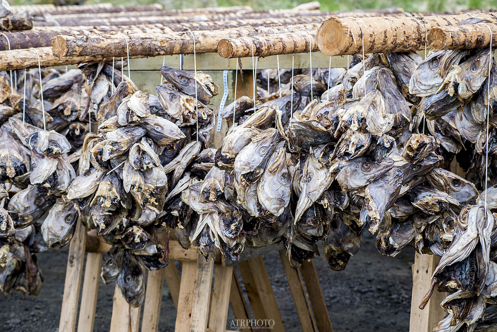 Stockfish are left out to dry in the arctic winds and sea air for 2-3 months to preserve them. The heads and bodies are dried separately. Stockfish are Norway's longest standing export commodity.
