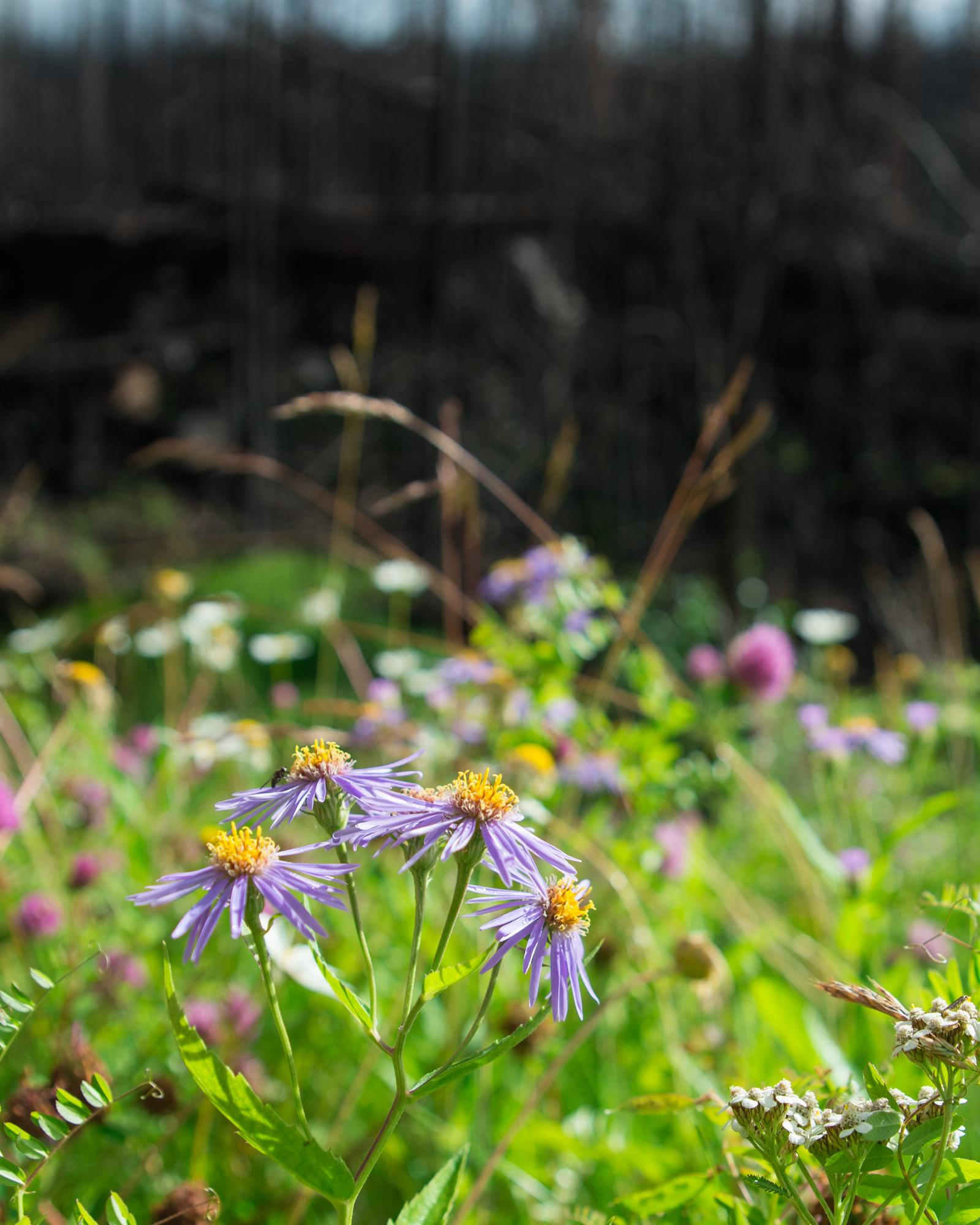 Wildflowers & Wildfires