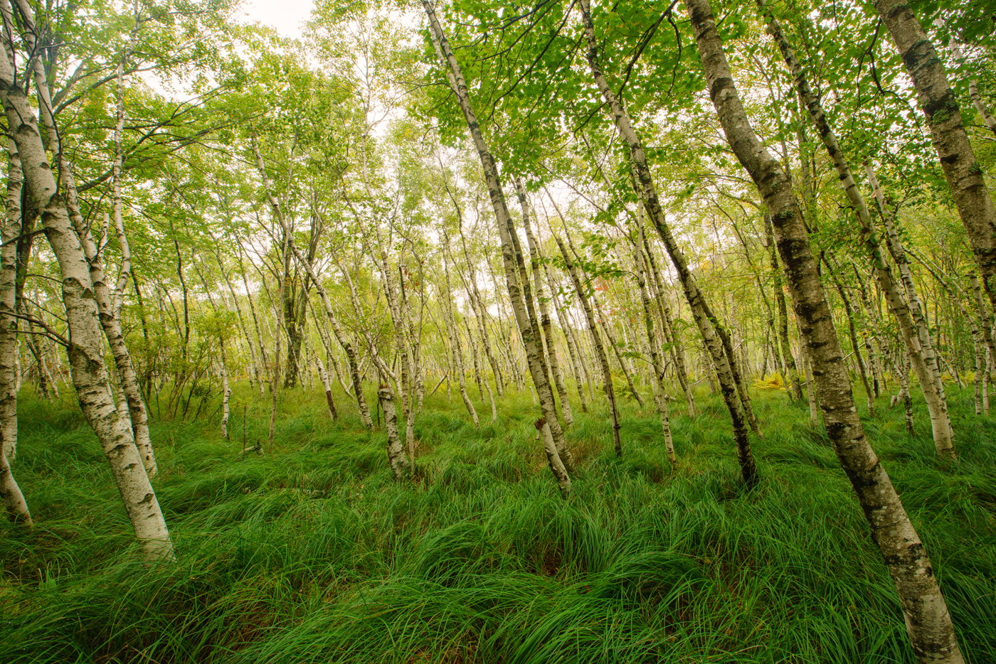 Paul's Birch Grove