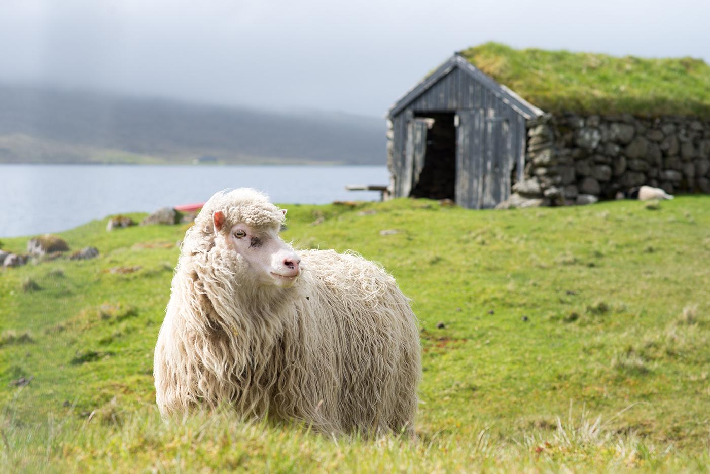 Sheep & Turf Shack