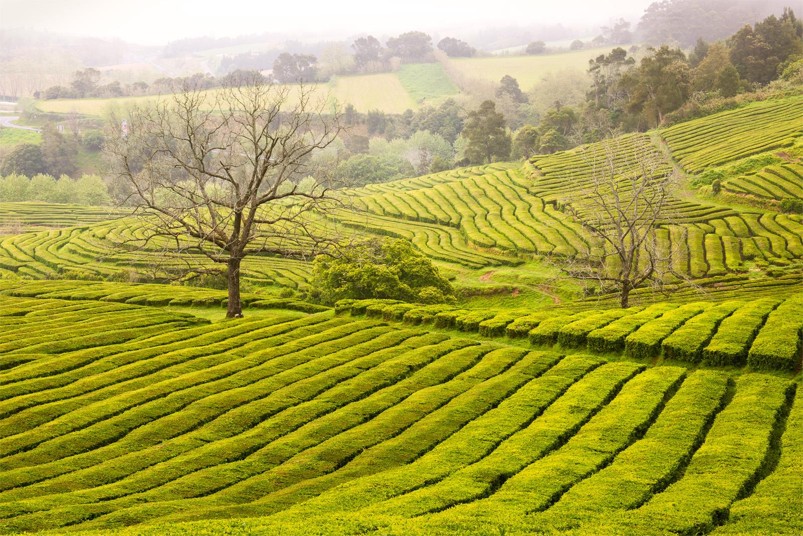 Gorreana Tea Plantation shrouded in fog