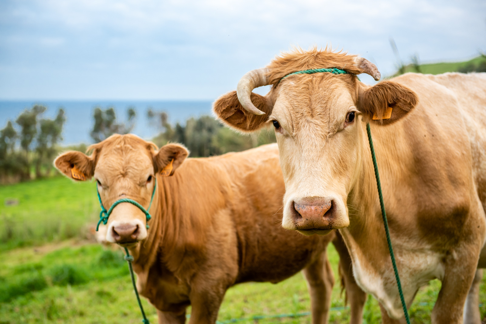 Cow Portrait.JPG