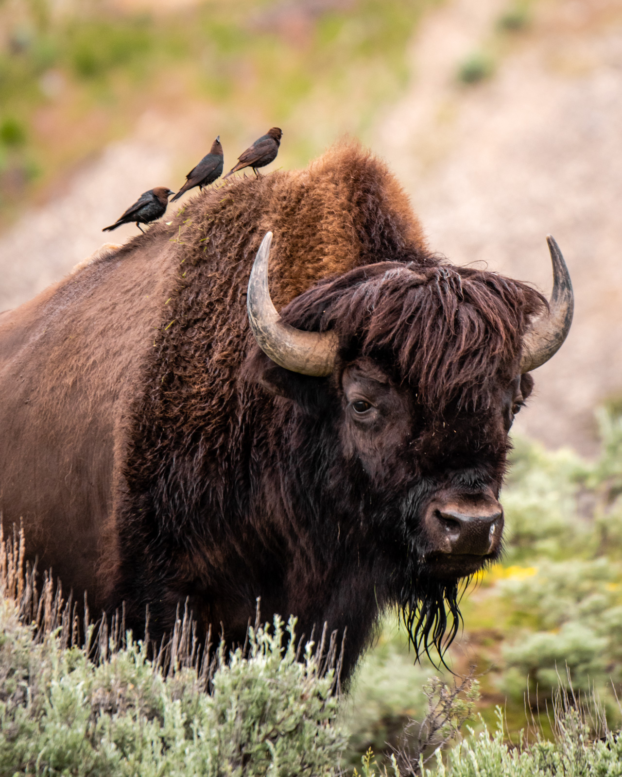 Cowbirds ride the bison in a symbiotic relationship: the birds eat the insects and carry loose fur off to build nests, and the bison receives a cleaning.