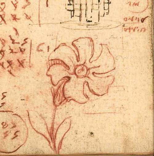 Leonardo da Vinci - Drawings - Plants - 17.jpg