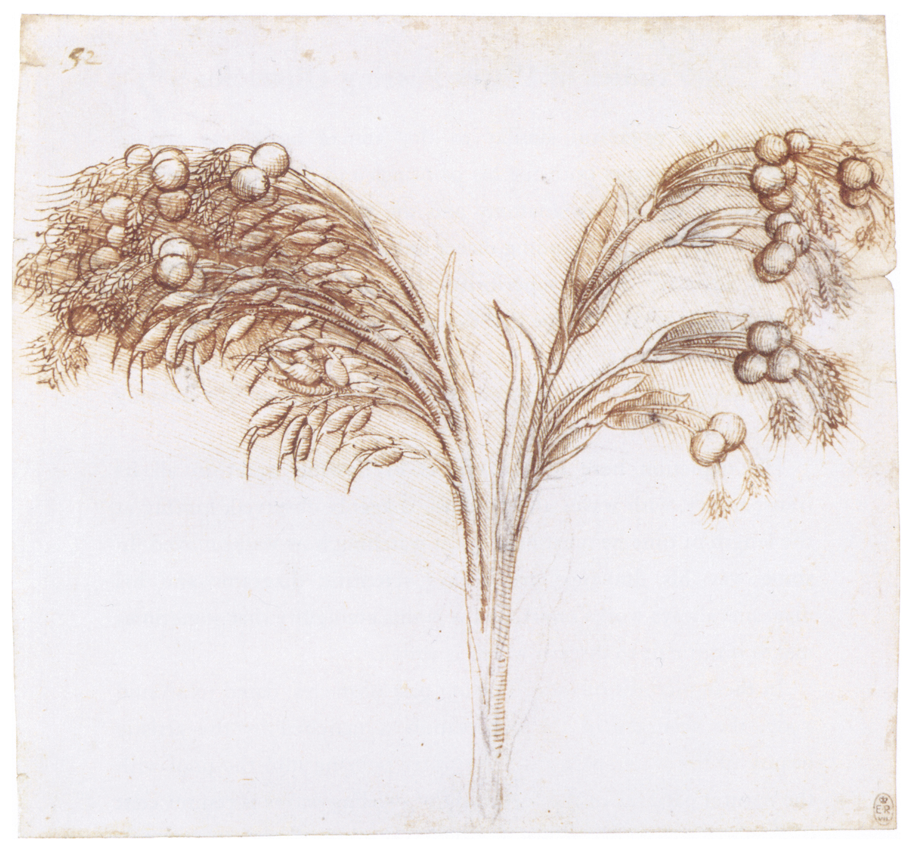 Leonardo da Vinci - Drawings - Plants - 03.JPG