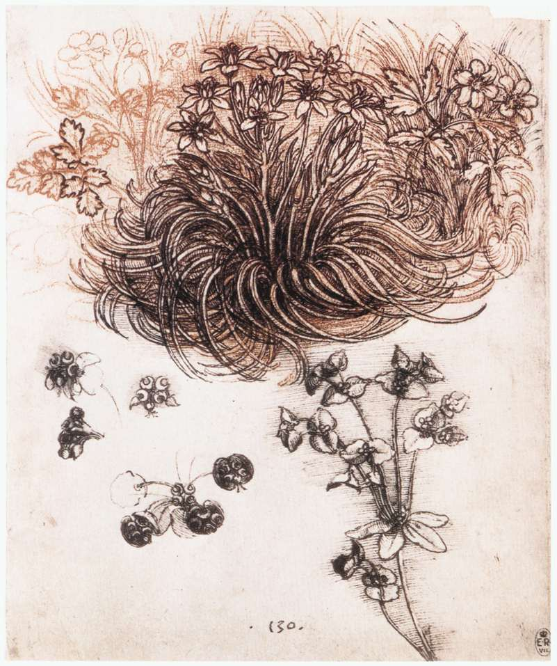 Leonardo da Vinci - Drawings - Plants - 07.jpg