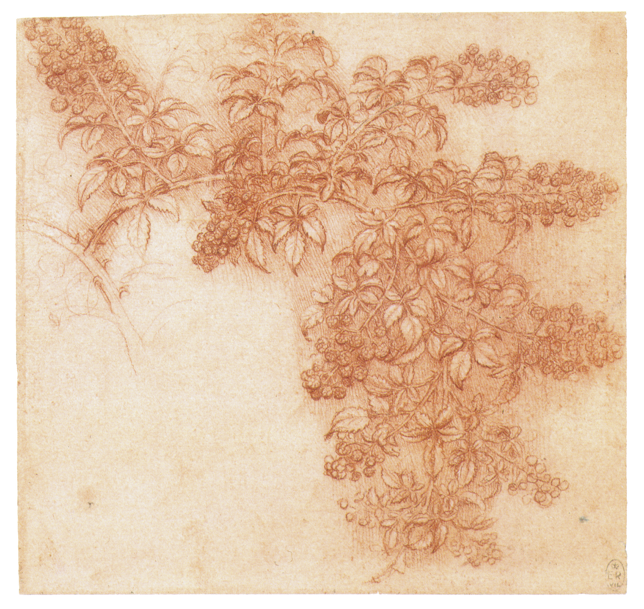 Leonardo da Vinci - Drawings - Plants - 05.JPG