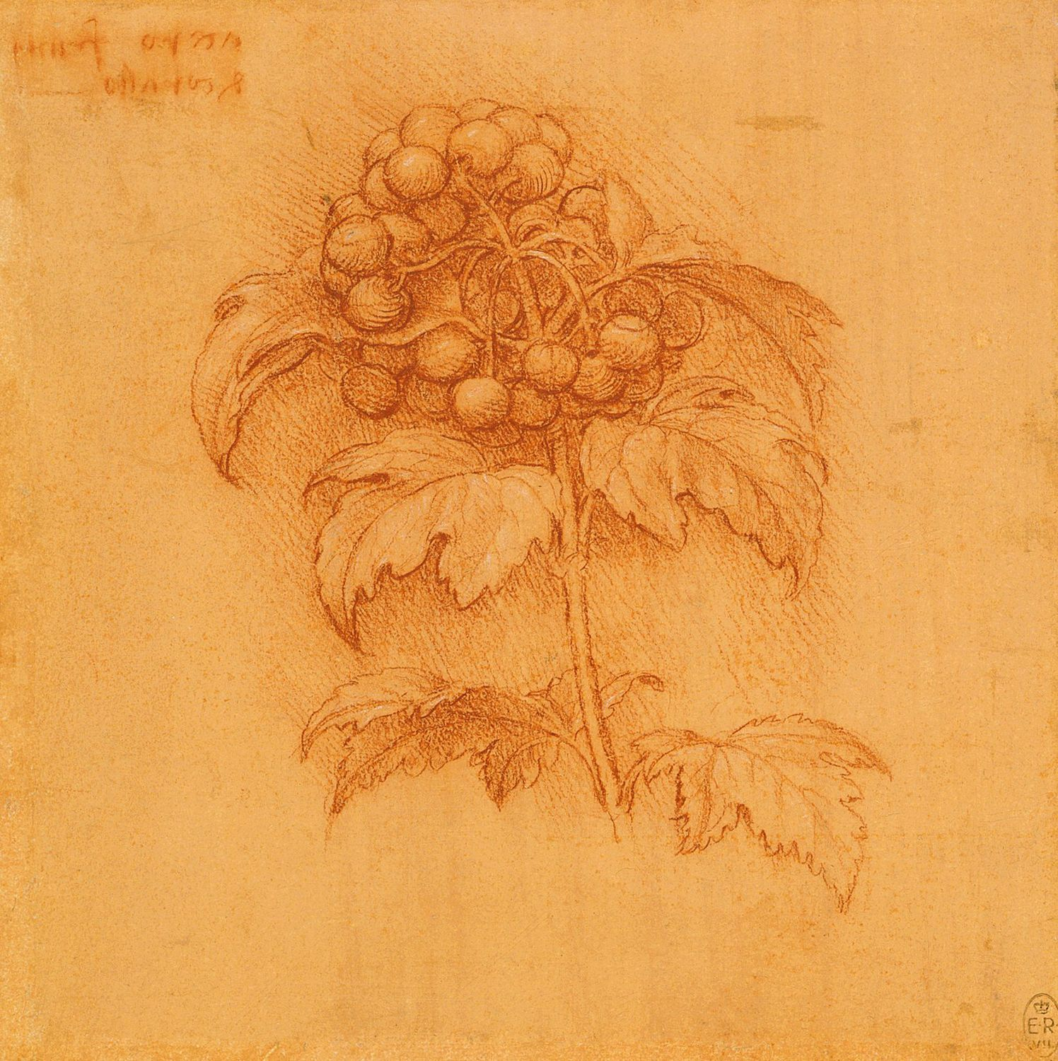 Leonardo da Vinci - Drawings - Plants - 09.jpg