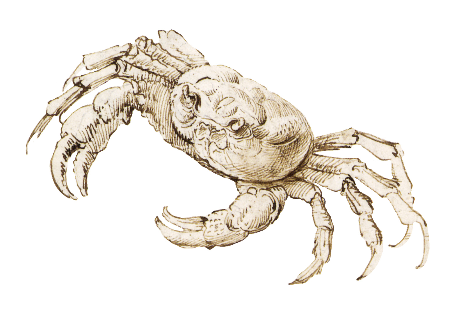 Leonardo da Vinci - Drawings - Animals - Crab Cut out.JPG