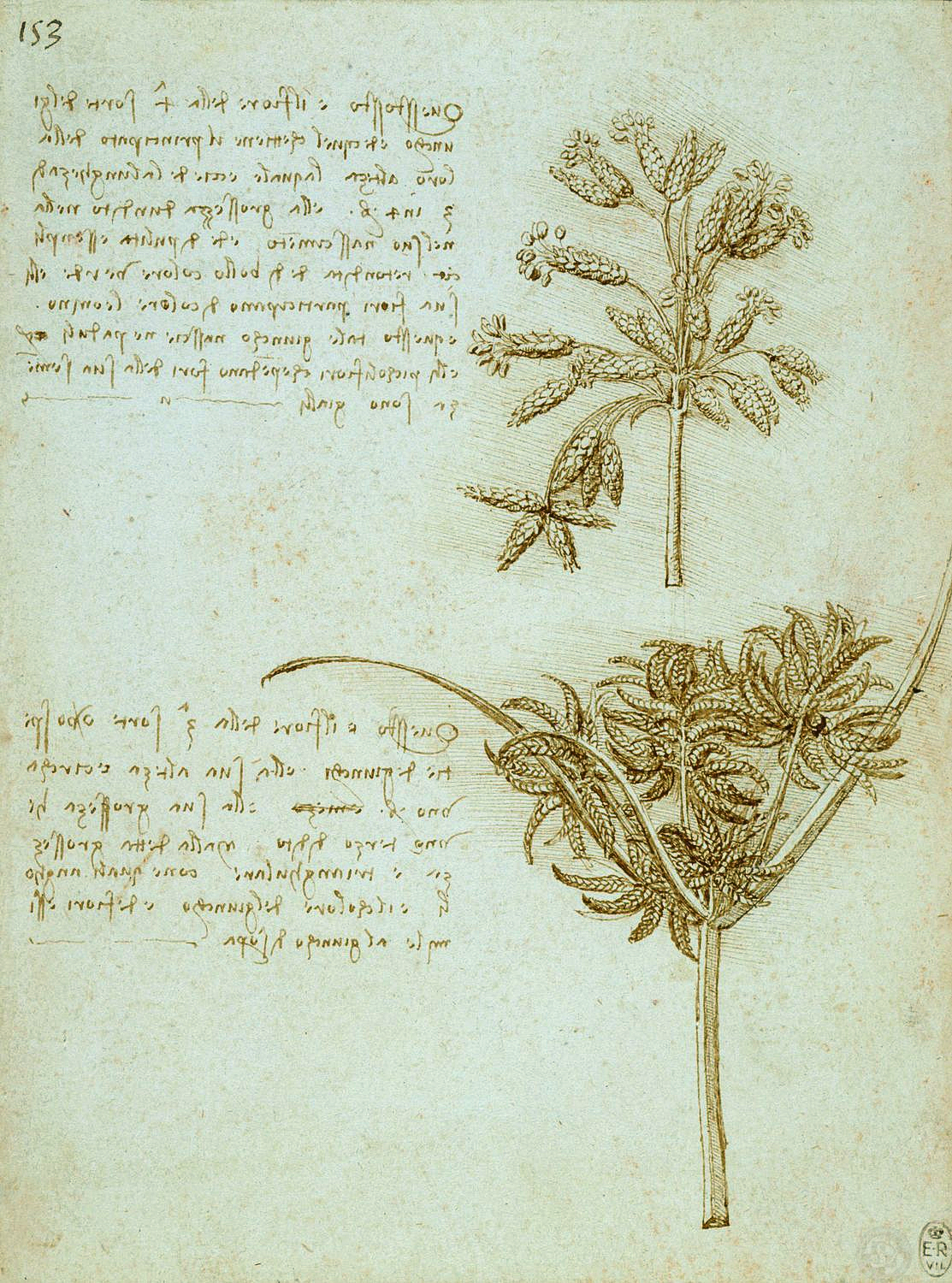 The seed-heads of two rushes (Scirpus lacustris and Cyperus sp.), with notes