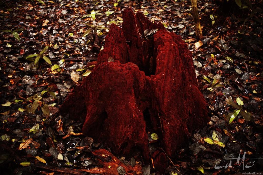 Termite Mound, Daintree Rain Forest, QLD
