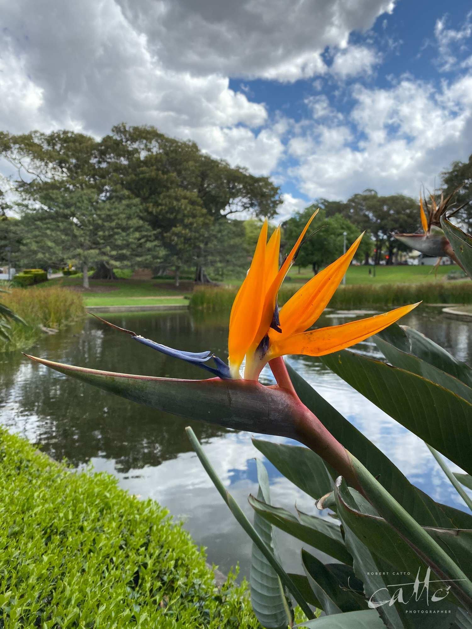 Bird of Paradise flower, Victoria Park, Sydney (iPhone 11 Pro - standard lens)
