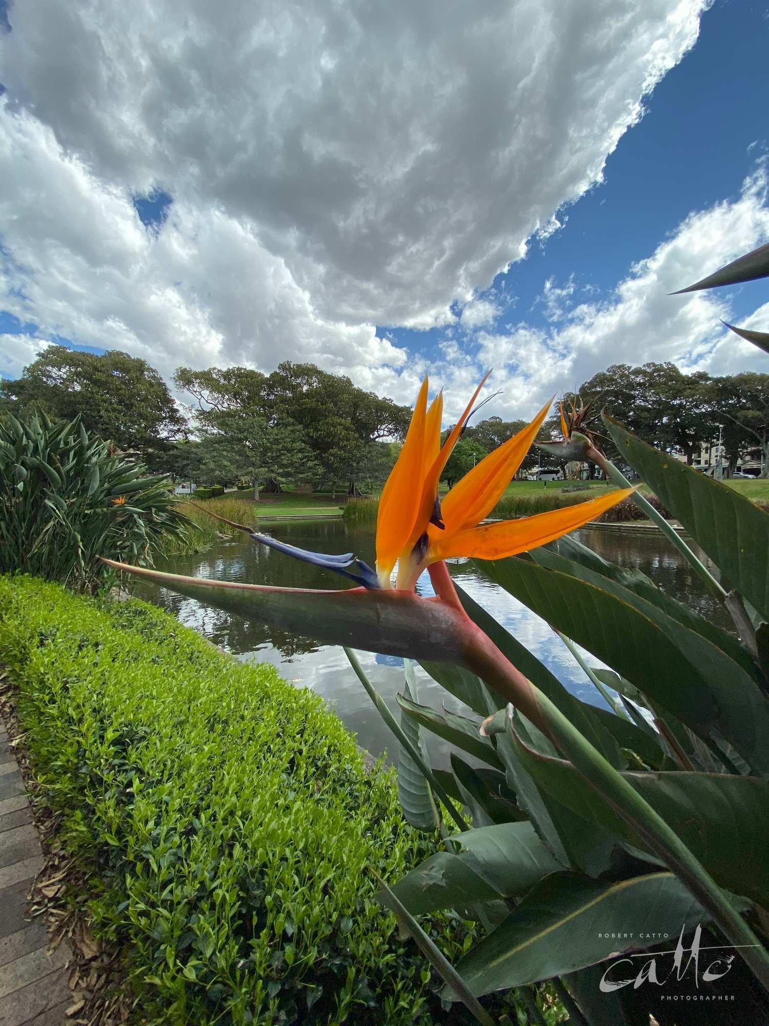 Bird of Paradise flower, Victoria Park, Sydney (iPhone 11 Pro - 0.5x wide lens)
