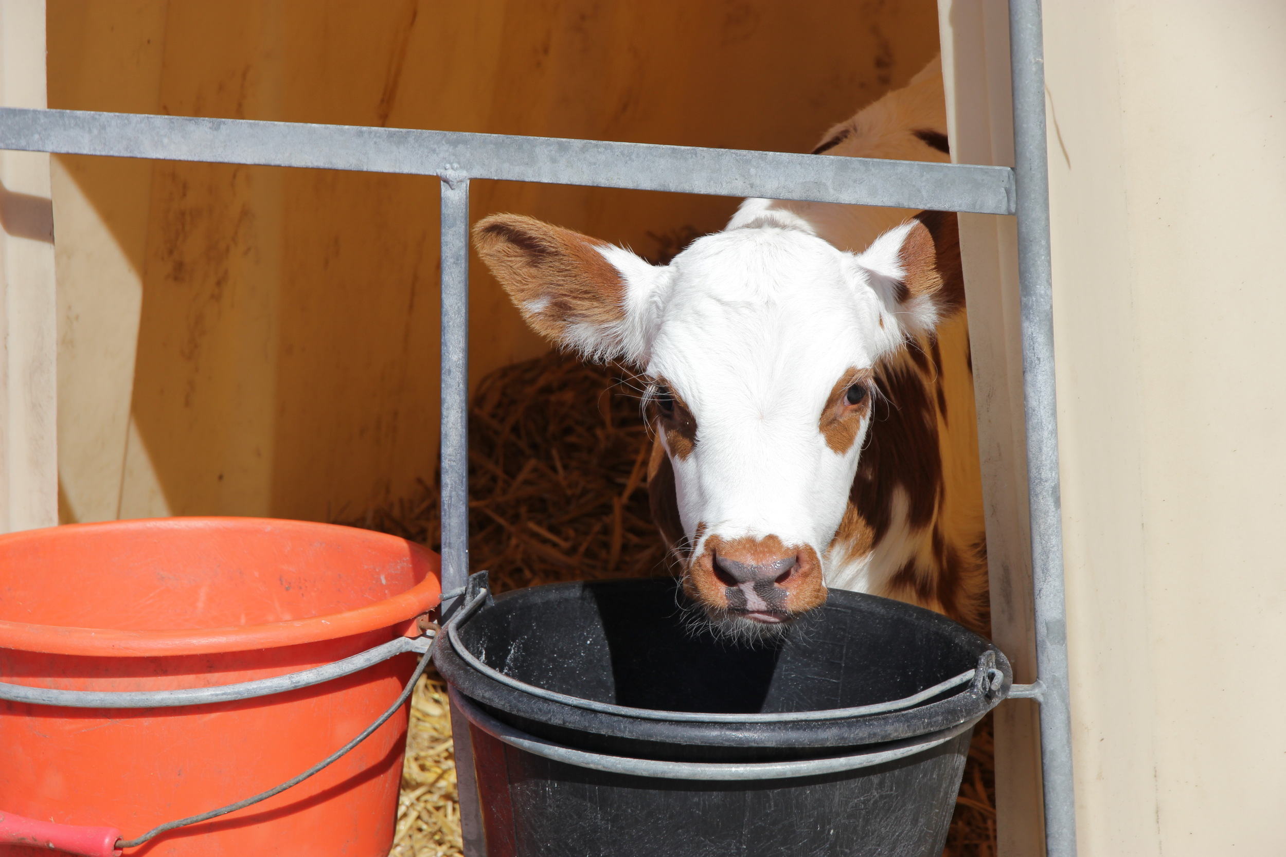 new-cow-fromagerie-durand.jpg