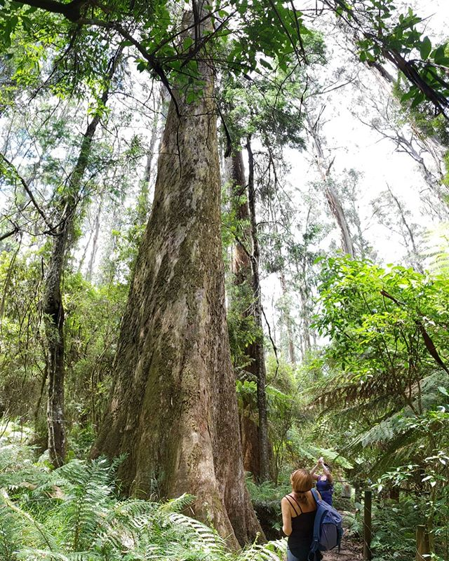 Mountain Ash are the second tallest trees in the world and beautiful specimens grow right here in the Dandenong Ranges. So tall you get dizzy looking up.