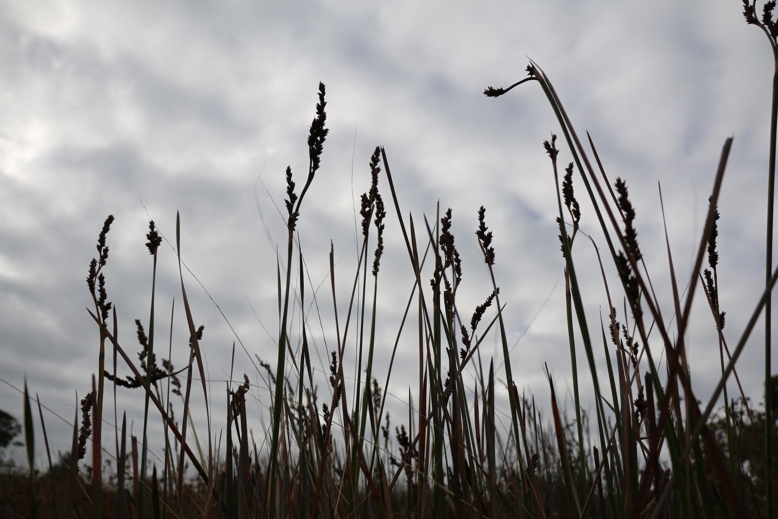 Silhouette Grasses