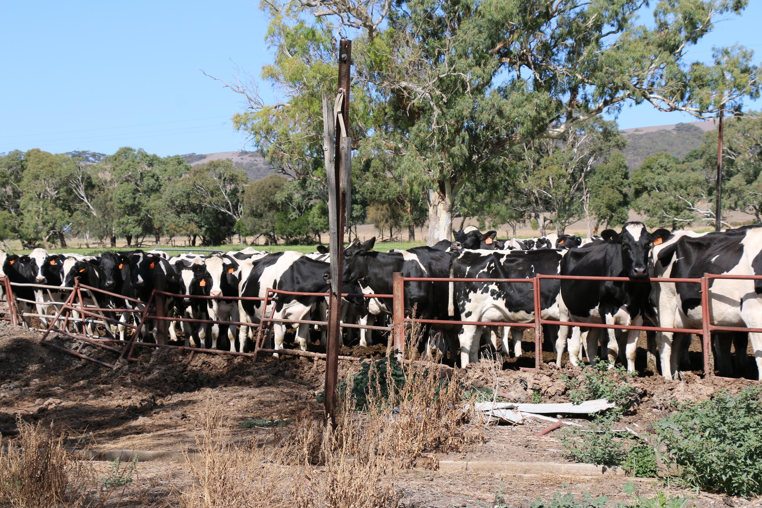 Dairy Cows.jpg