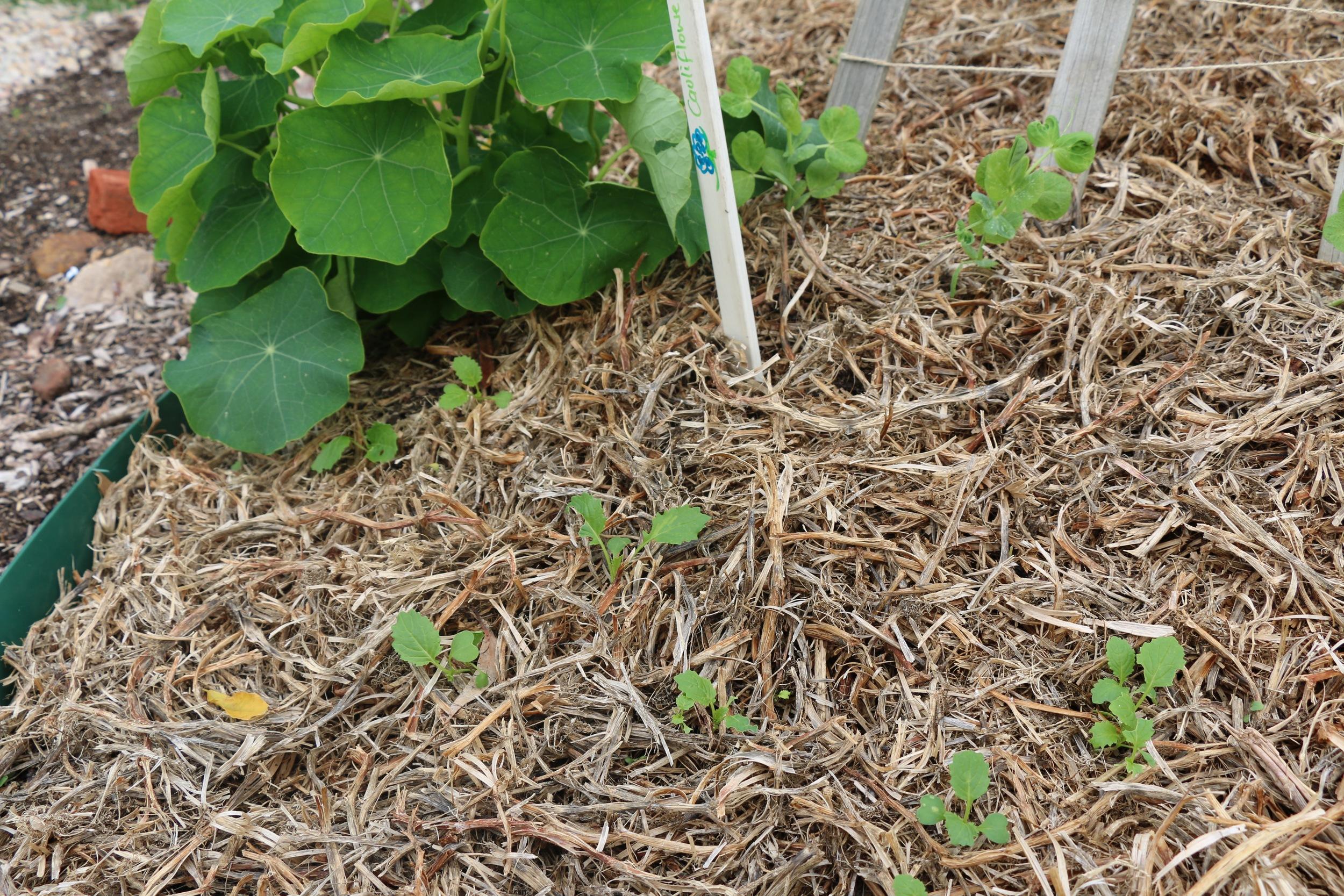 Cauliflower Seedlings.jpg