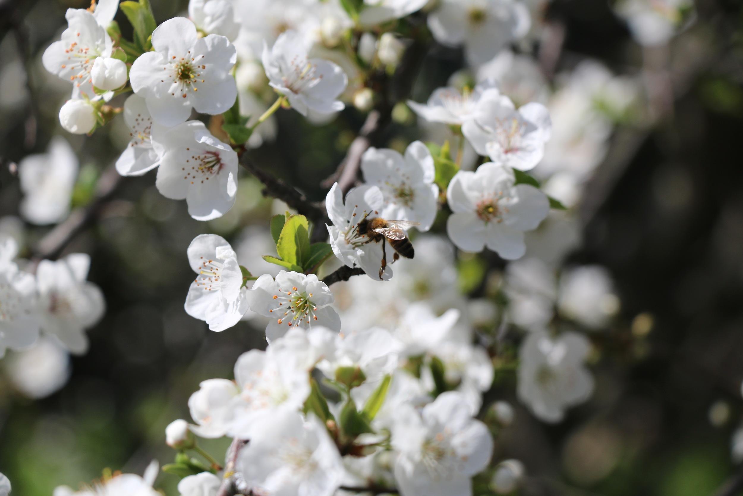 Golden Plum Blossom