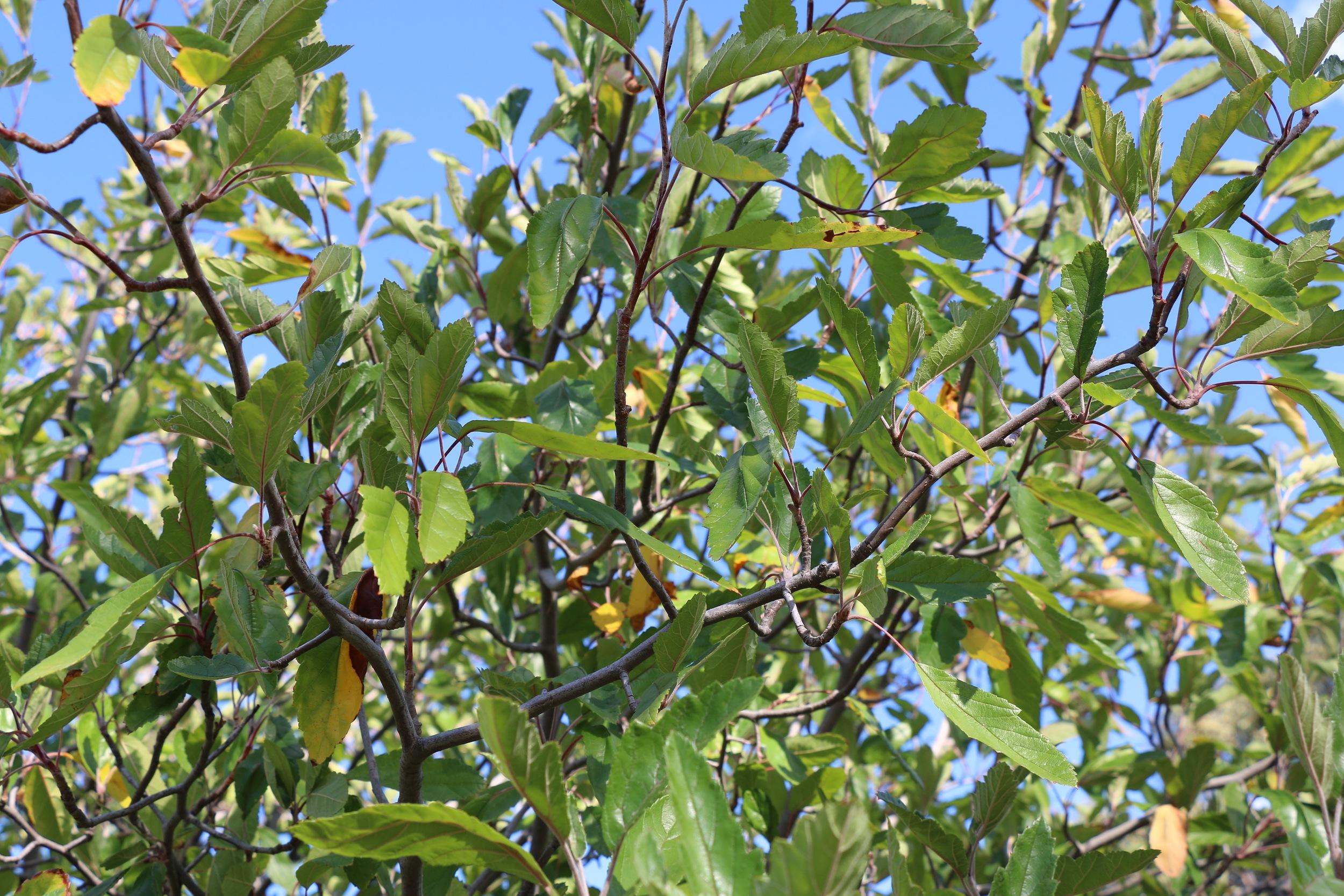 Apple Blossom Leaves.jpg