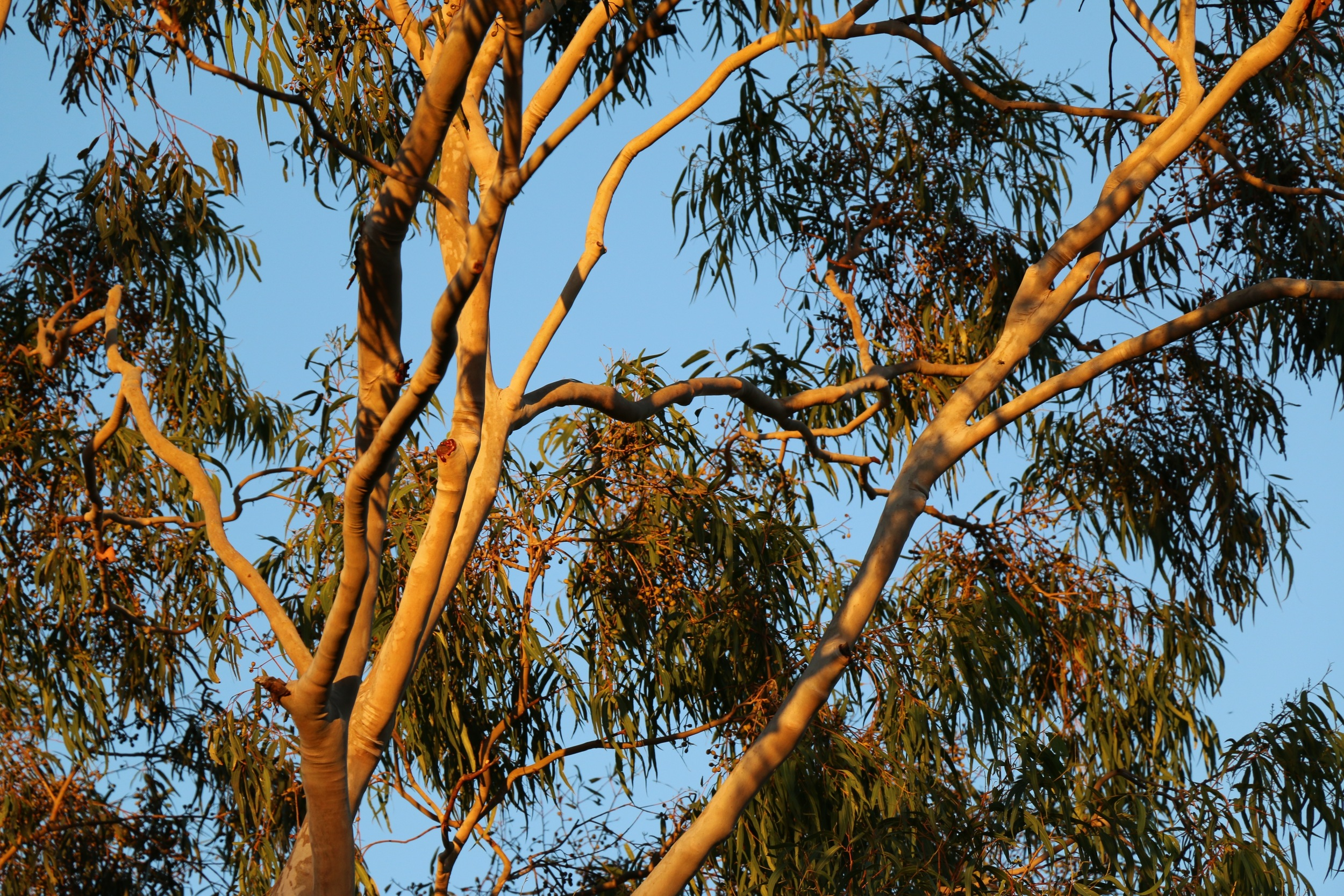 Golden Ghost Gum.jpg