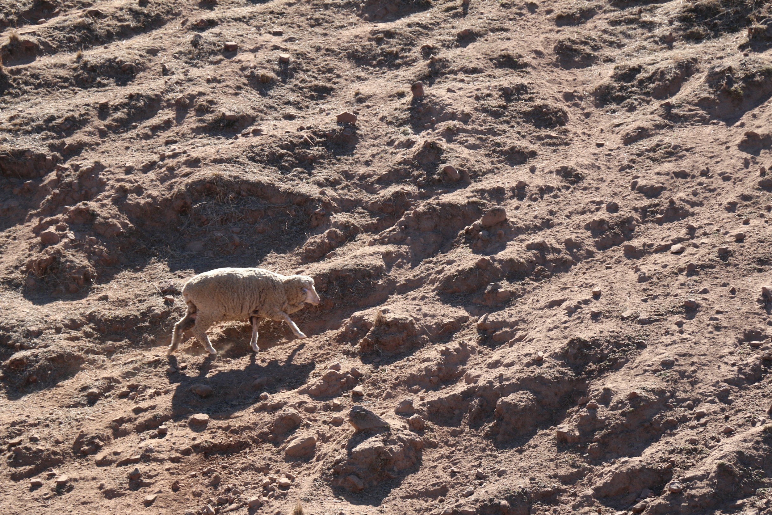 Baked Earth and Lone Sheep.jpg