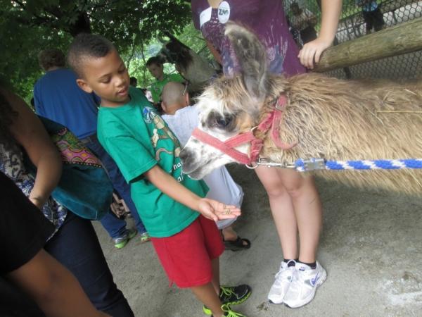 A llama feeding frenzy at High Park.