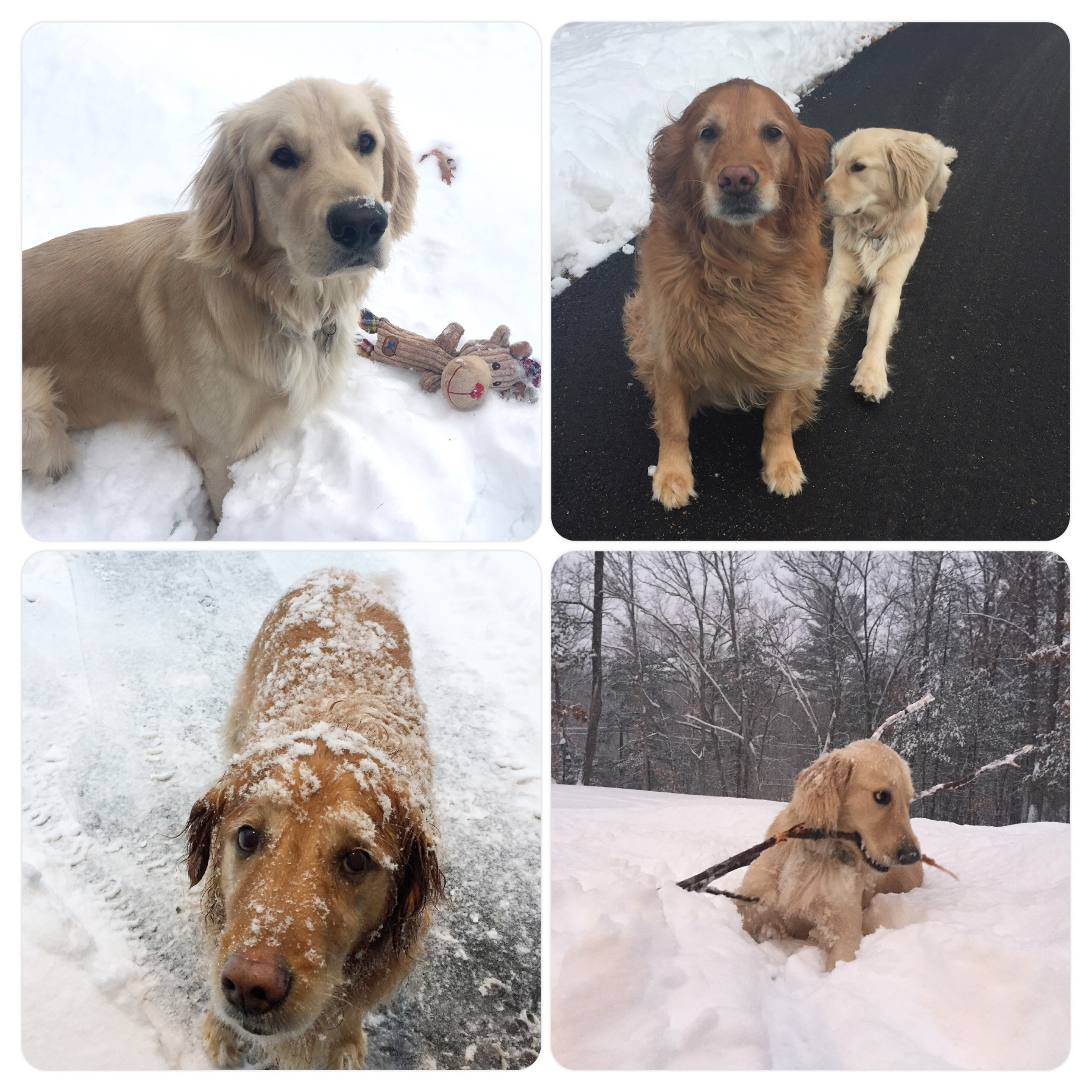 Dogs loving the snow, Scout more than Lucy. :) She tolerates it.