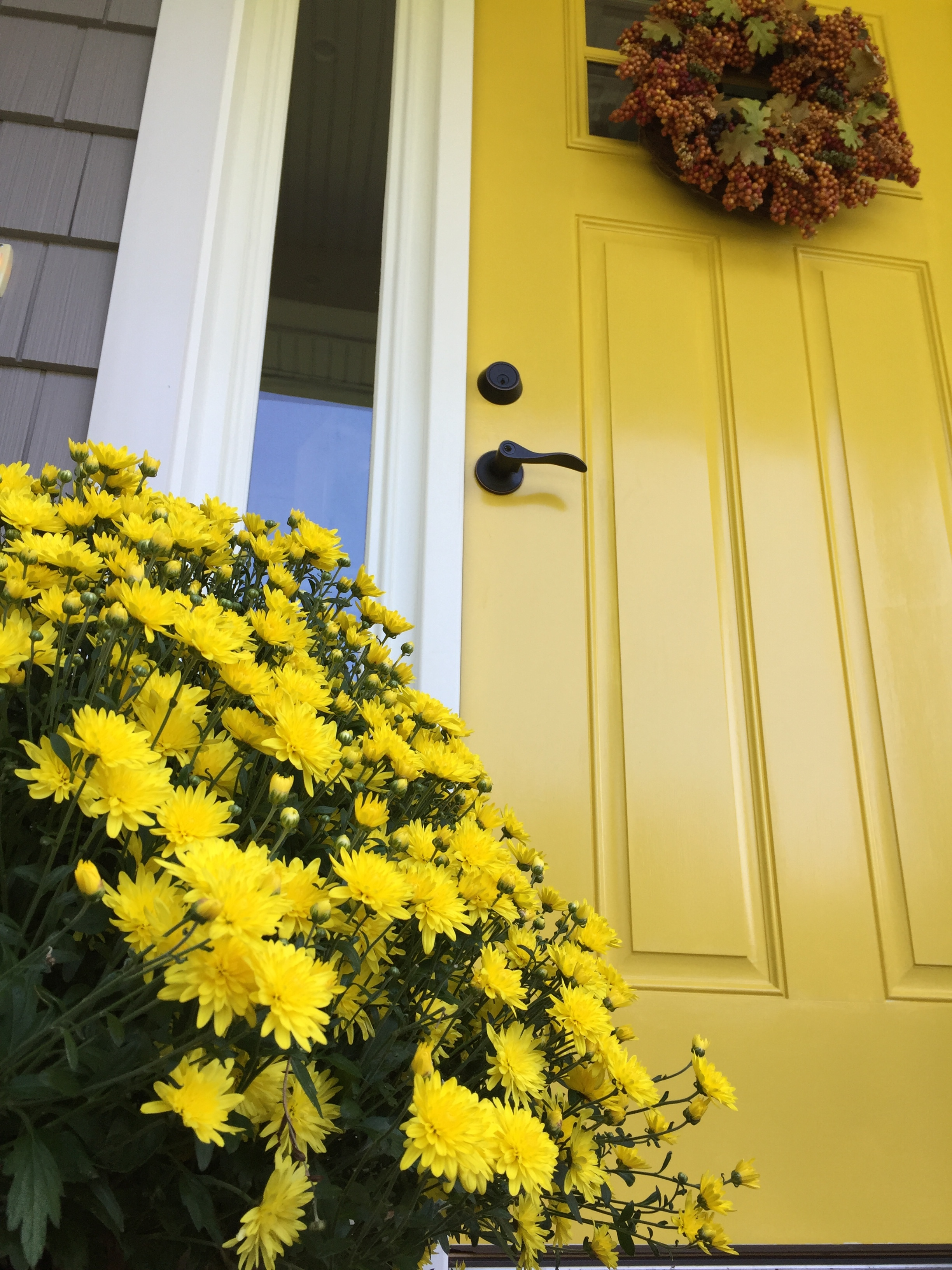 Yellow mums are blooming!