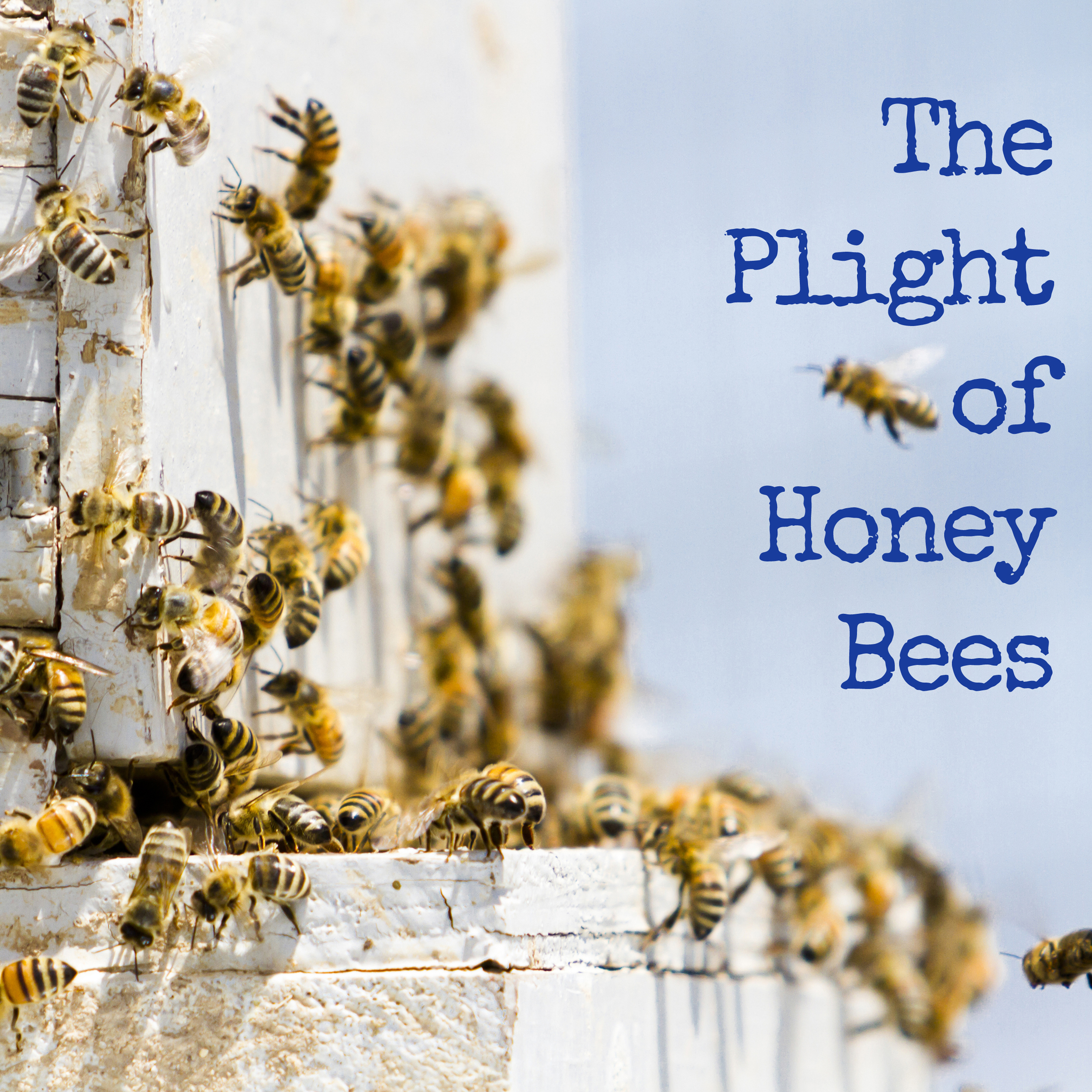 Since 2005, honey bee populations have been in steep decline. Threats from the mysterious syndrome called Colony Collapse Disorder, pests like varroa mites,and potentially lethal combinations of pesticides, herbicides and fungicides have taken a devestating toll. Average annual U.S. losses have held steady near 30 percent. This means that 1 out of 3 hives will likely not survive the year.