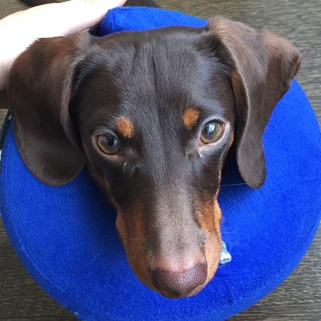 Cones Suck 😒 #freedomtaildogs #petofthemonth . . . . . . . . . . #freedomtail #dog #dogs #dogsofinsta #dogsofig #dogsofinstagram #dogwalker #pet #cute #boston #bostondogwalker #dogwalkersofinstagram #dogsofboston #petsitter #doglover #doglovers #pets #instapet #dogwalk #dogsdaily #doggram #woofwoof #doggylove #doggie #cutedog #bostondog #bostondogs