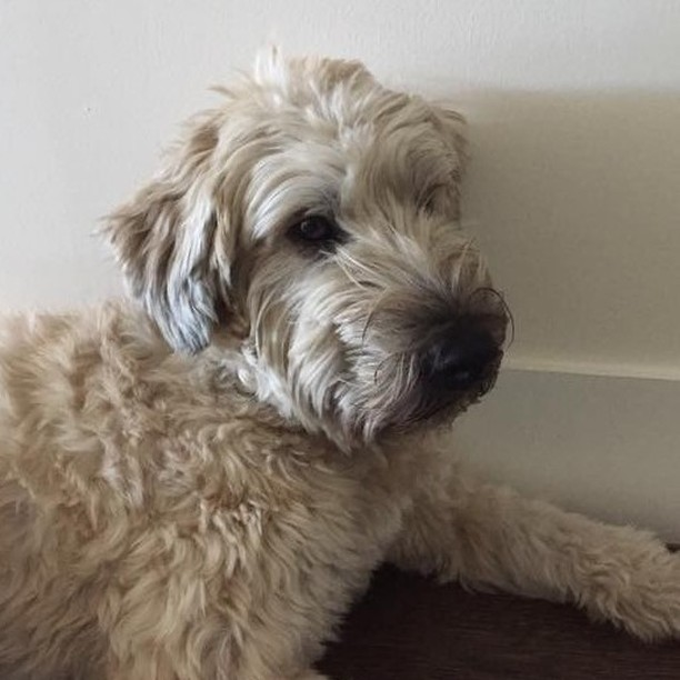 Ollie is a Wheaten Terrier - this mild-mannered breed is affectionate and playful! #freedomtaildogs . . . . . . . . . . #freedomtail #dog #dogs #dogsofinsta #dogsofig #dogsofinstagram #dogwalker #pet #cute #boston #bostondogwalker #dogwalkersofinstagram #dogsofboston #petsitter #doglover #doglovers #pets #instapet #dogwalk #dogsdaily #doggram #woofwoof #doggylove #doggie #cutedog #bostondog #bostondogs