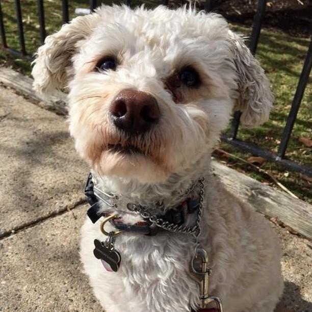 Samson the Schnoodle 🐩 #freedomtaildogs . . . . . . . . . . #freedomtail #dog #dogs #dogsofinsta #dogsofig #dogsofinstagram #dogwalker #pet #cute #boston #bostondogwalker #dogwalkersofinstagram #dogsofboston #petsitter #doglover #doglovers #pets #instapet #dogwalk #dogsdaily #doggram #woofwoof #doggylove #doggie #cutedog #bostondog #bostondogs