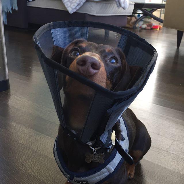 Cones Suck Pt. 2: the Shaming 😤 #freedomtaildogs #petofthemonth . . . . . . . . . . #freedomtail #dog #dogs #dogsofinsta #dogsofig #dogsofinstagram #dogwalker #pet #cute #boston #bostondogwalker #dogwalkersofinstagram #dogsofboston #petsitter #doglover #doglovers #pets #instapet #dogwalk #dogsdaily #doggram #woofwoof #doggylove #doggie #cutedog #bostondog #bostondogs