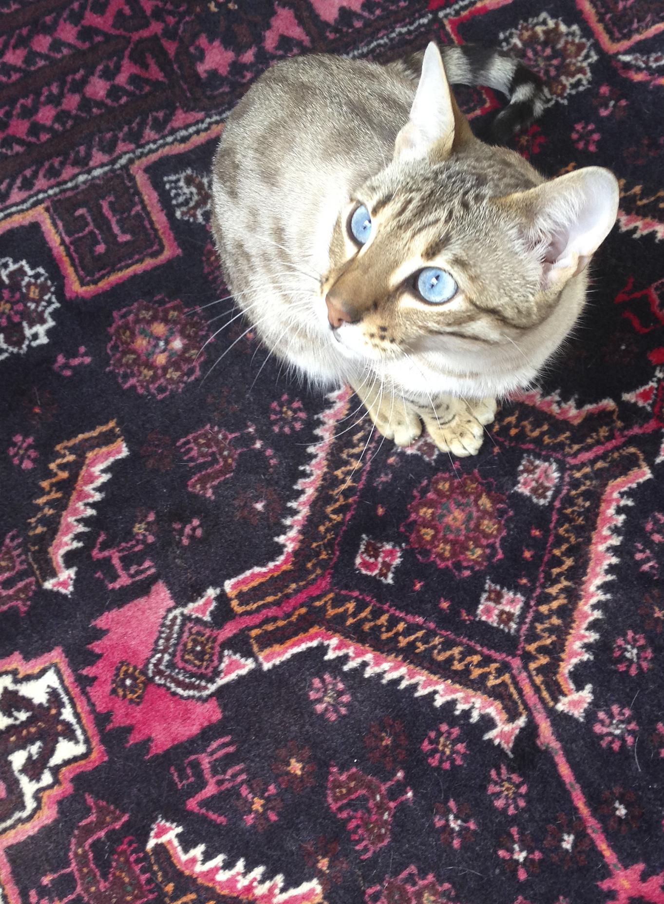 Mandarina Studio :: Office mascot Mika bengal cat