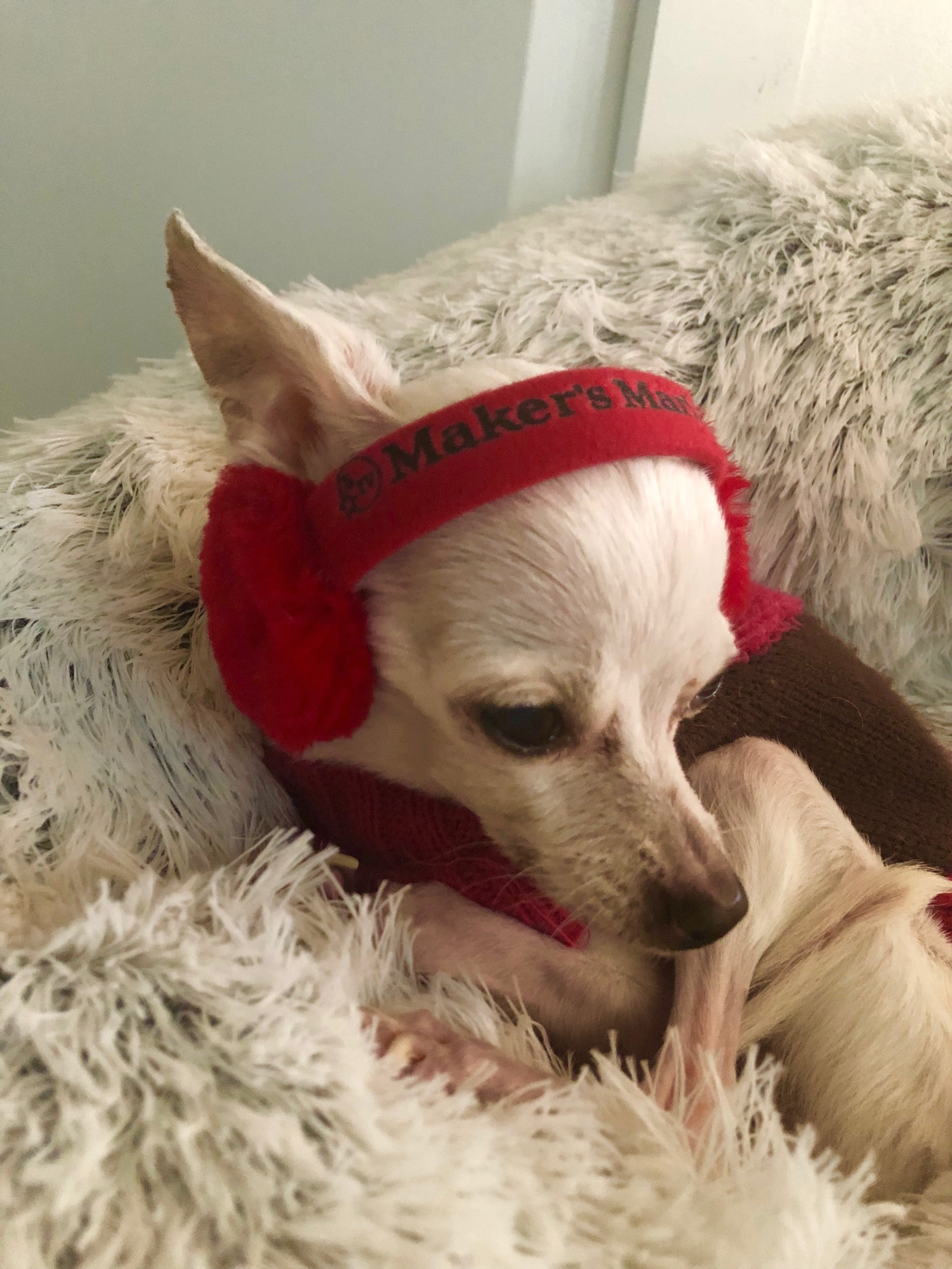 My cousin Amy had the most creative use for her Maker's Ambassador earmuffs! Lola the Chihuahua models them for us!