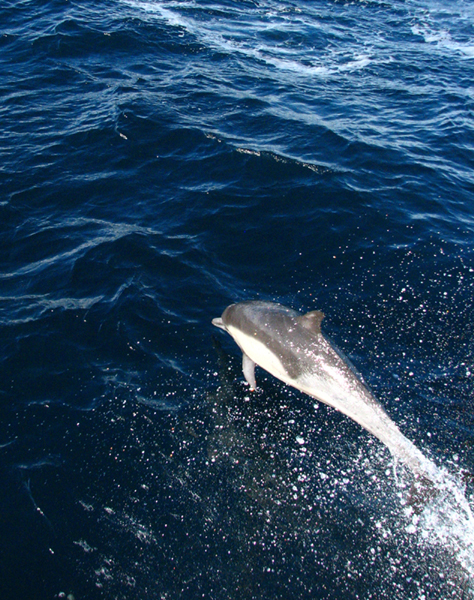 This dolphin was surfing the bow wake