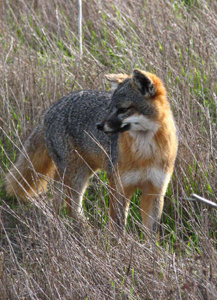 The evolutionarily-odd Santa Cruz Island fox - only the size of a housecat!