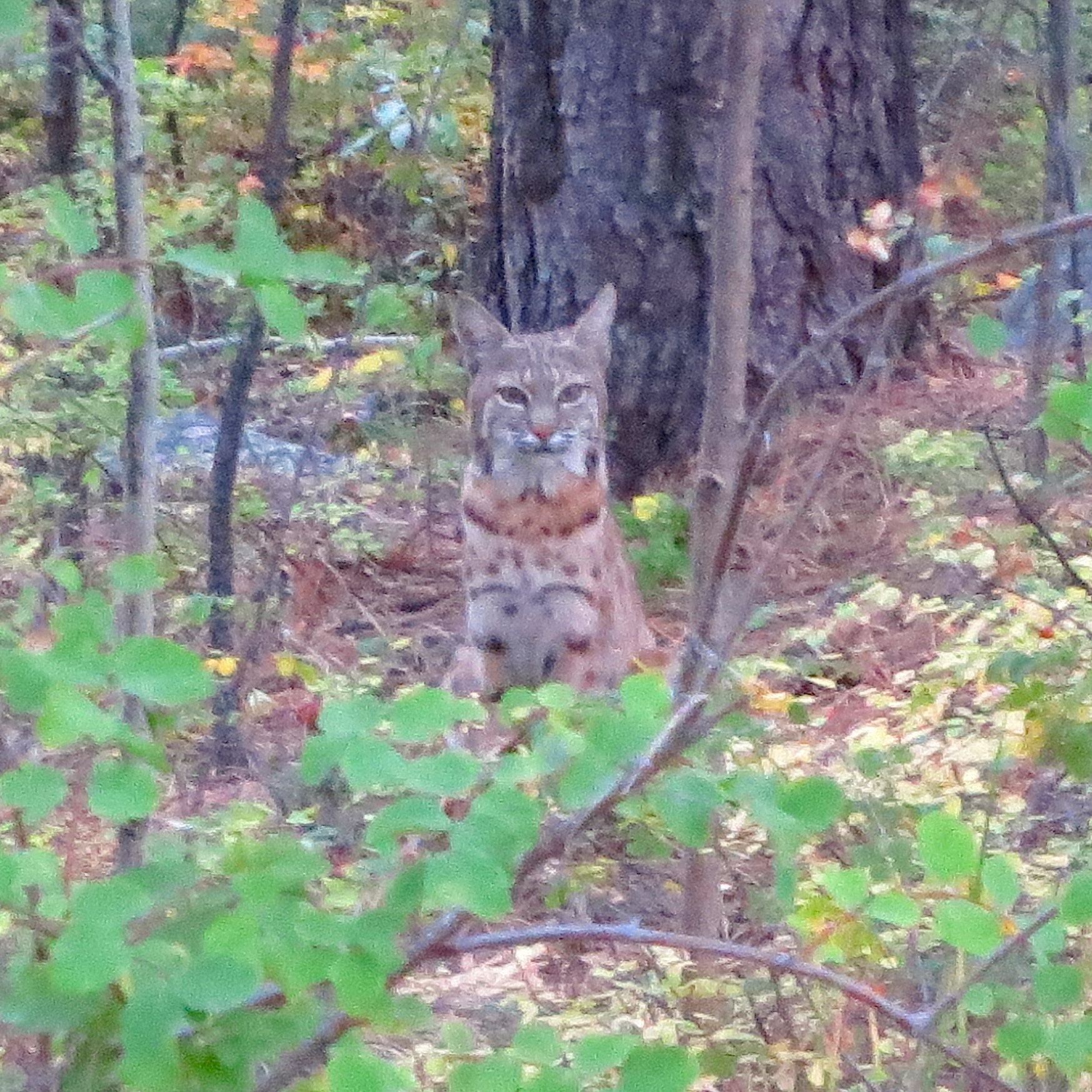 While heading to camp for the night near Salida, we spotted this bobcat crossing the road. He sat, 30 feet off the road, for a good five minutes and watched us watching him. Sandhya and I both took some photos - this was the best one, given the low light and heavy cropping. (Photo by Sandhya Tillotson)