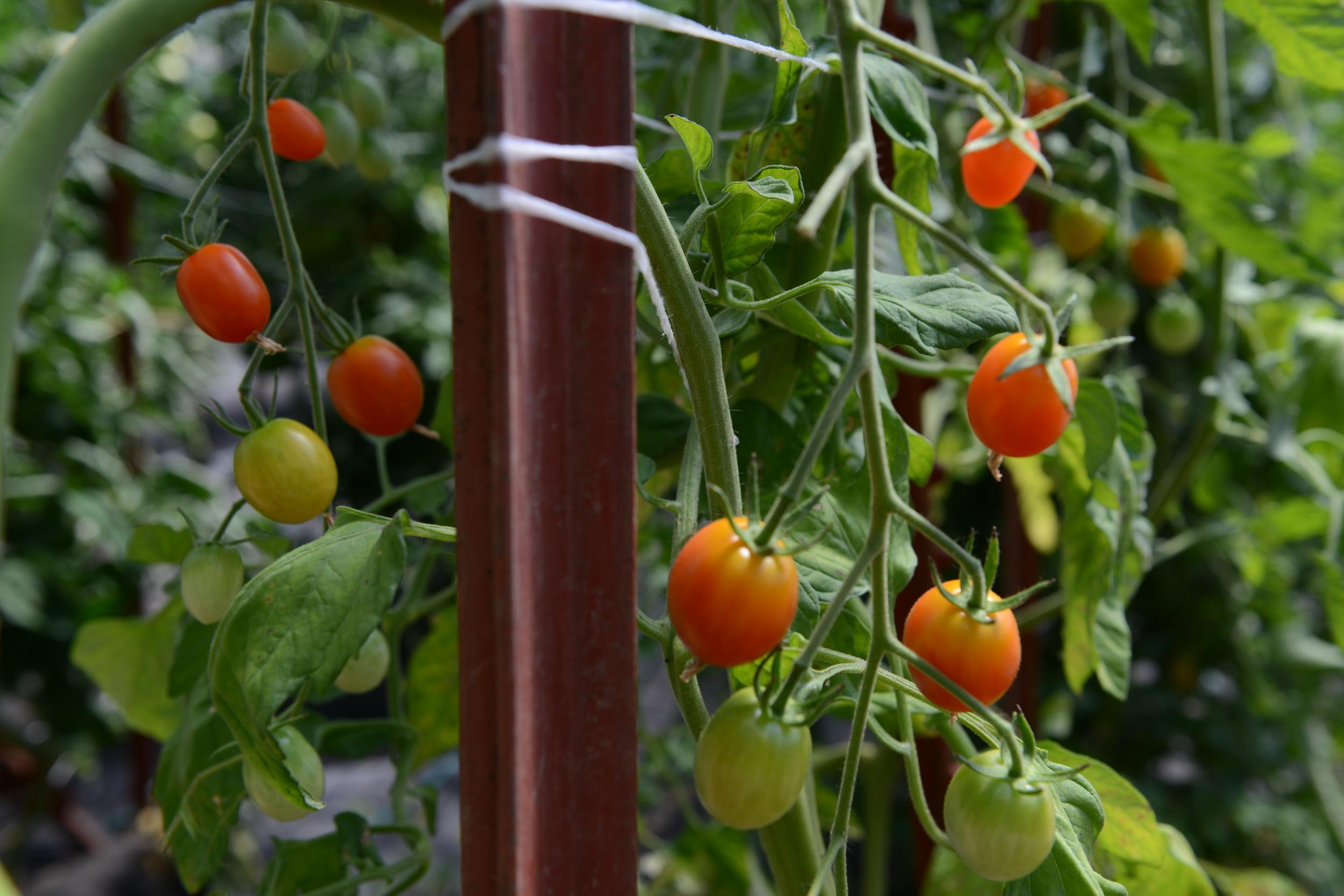 'Sweetie' cherry tomatoes
