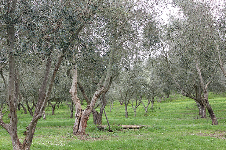 Jonio's Olive Grove
