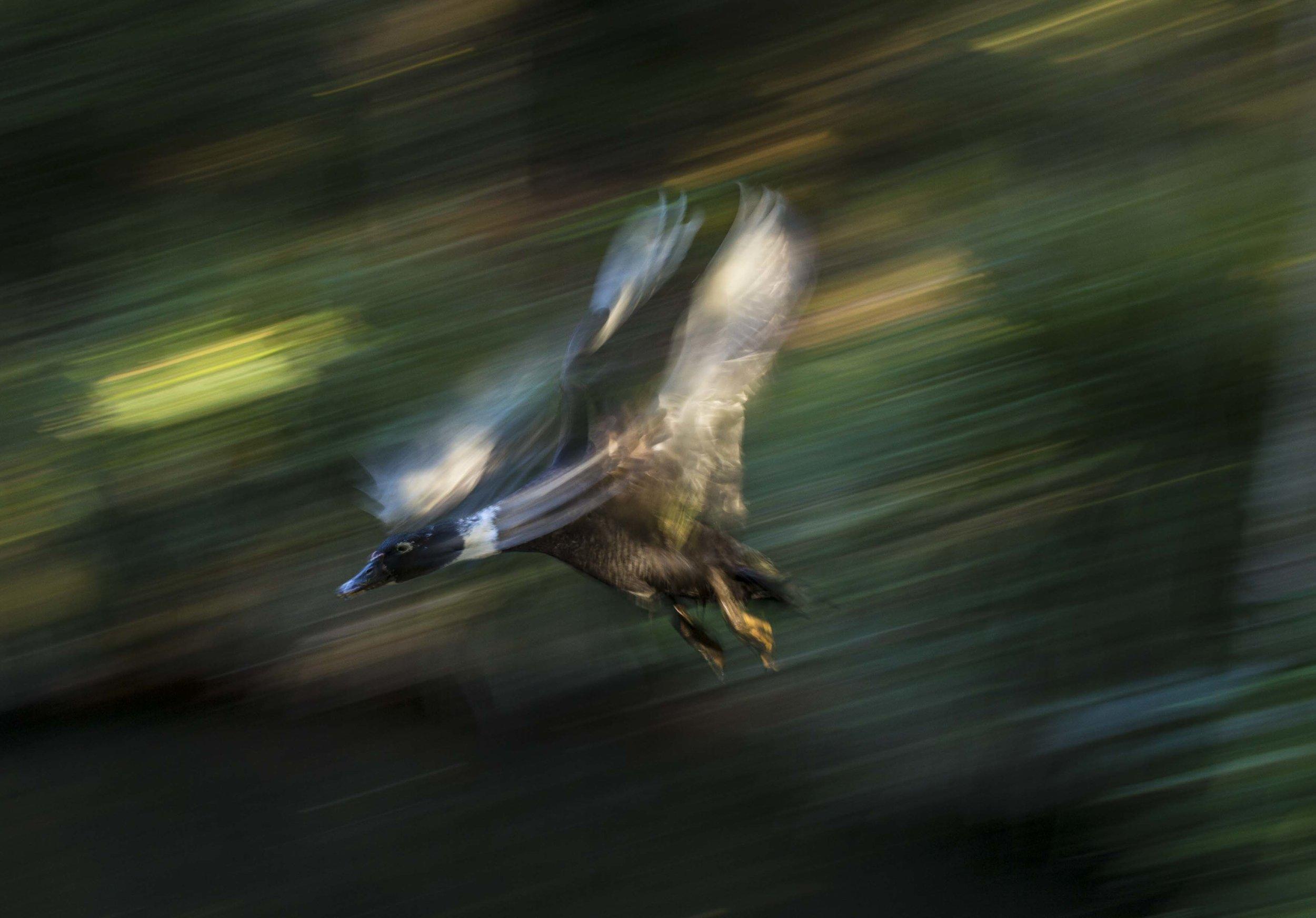 """Sparkle the duck, in full flight""                            ©Russell Shakespeare 2017"