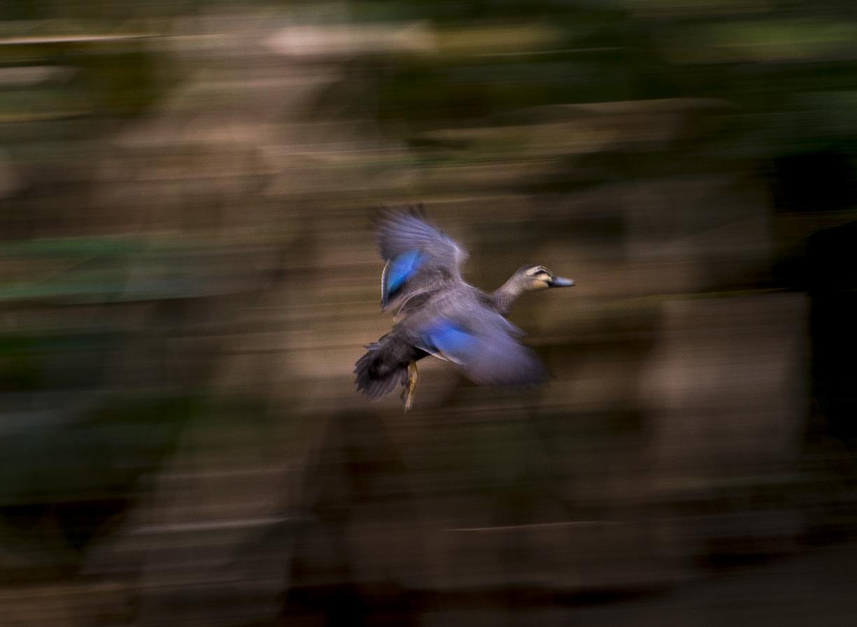 """Pacific Black Duck"" Currumbin Valley, Australia.                ©Russell Shakespeare 2017"
