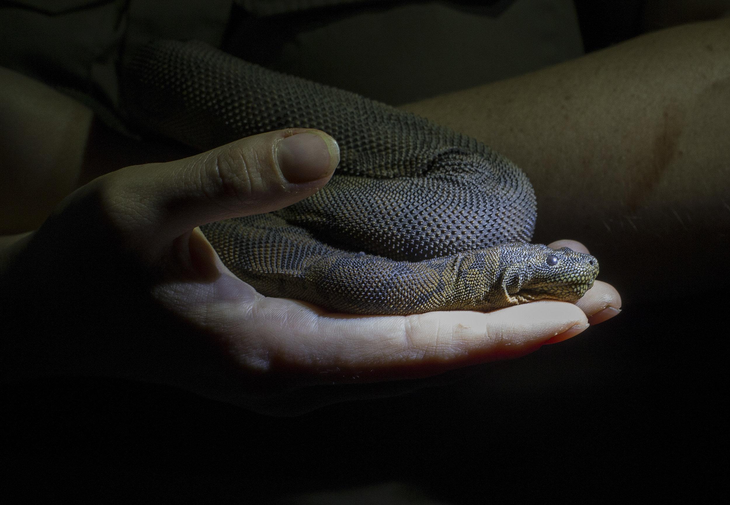 File Snake, The Steve Irwin Wildlife Reserve. © Russell Shakespeare/Australia Zoo 2018