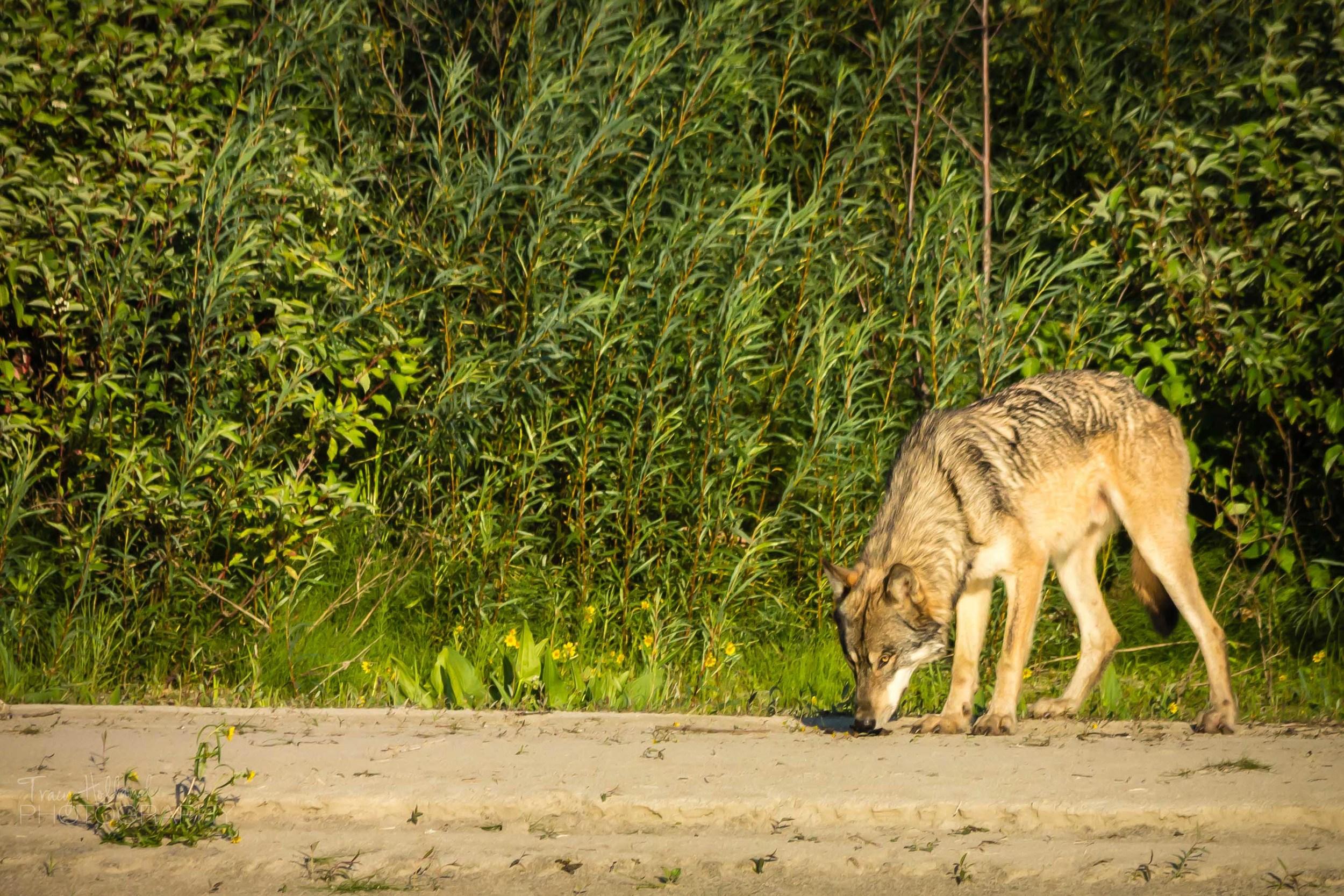 Wolf Prt 082214-9256.jpg